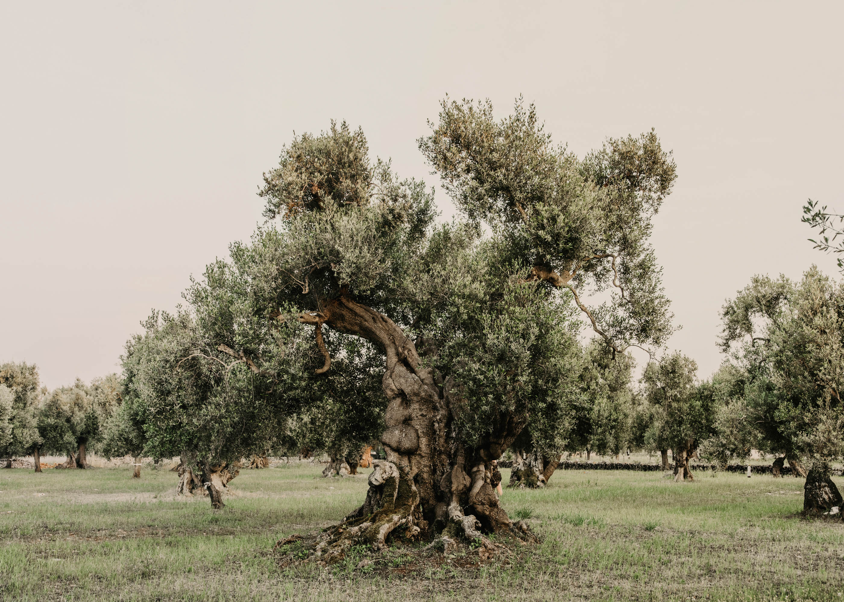 #editorial #italy #puglia #openhouse #town #ostuni #olive #countryside
