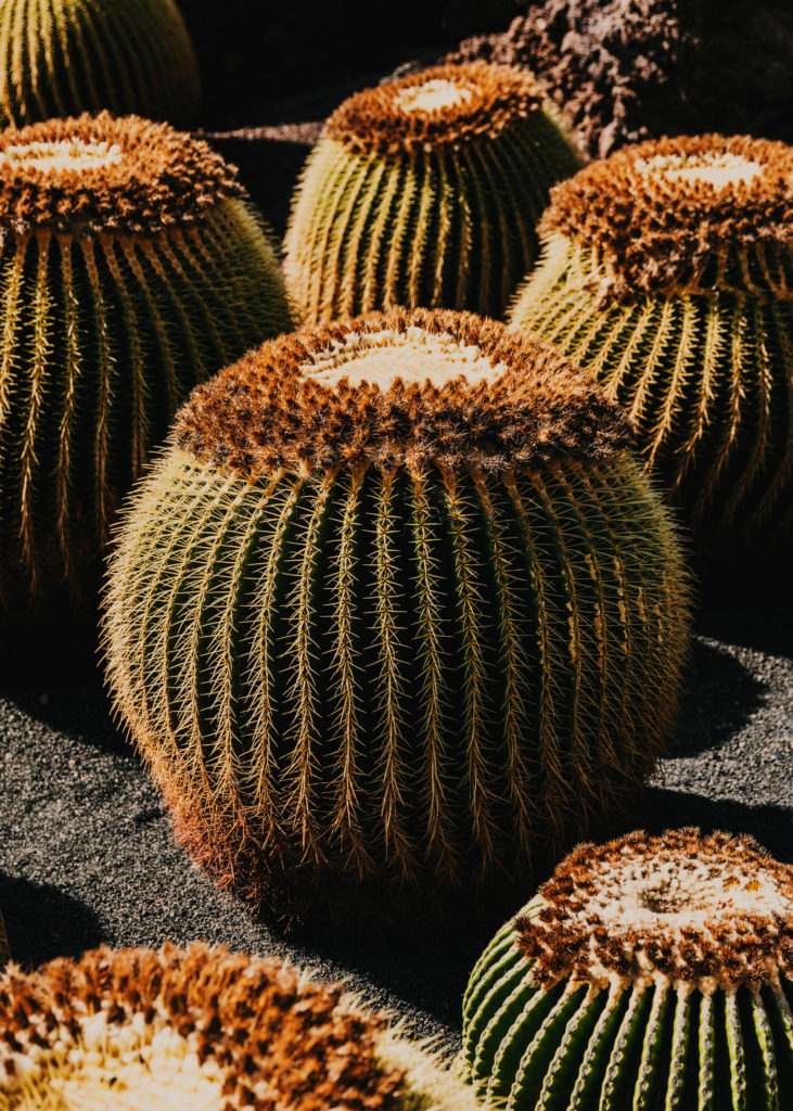 #1617 #lanzarote #cactus #cesarmanrique #vegetal #plants