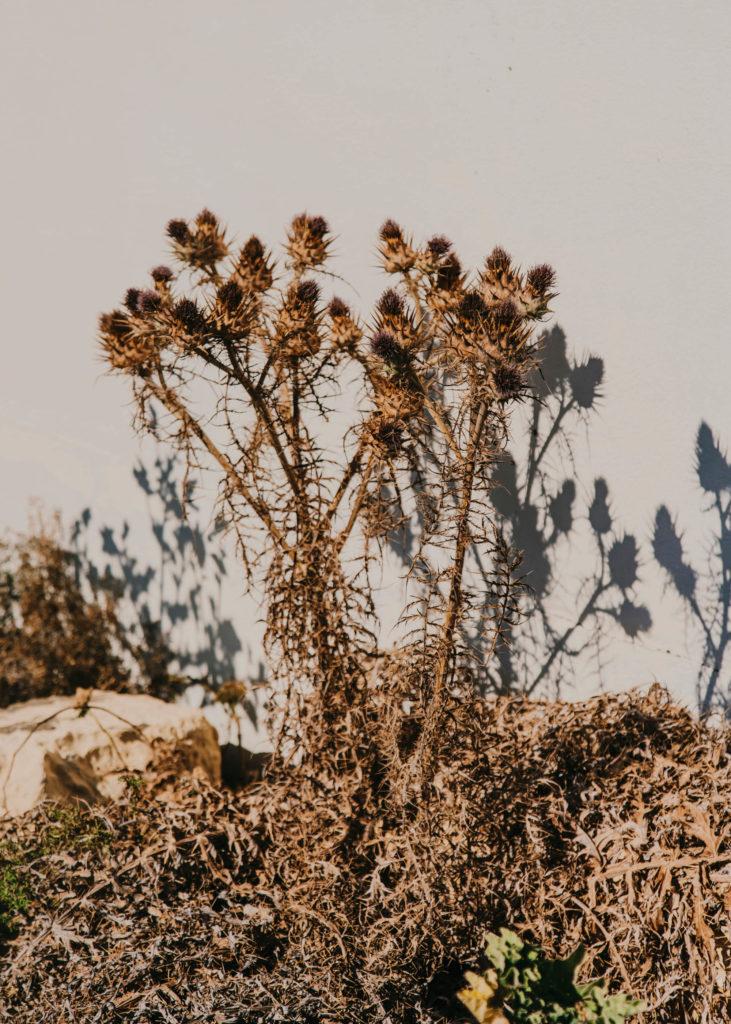 #1617 #malta #vegetal #plants