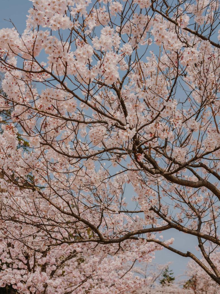 #kanazawa #park #japan #castle #people #2018 #cherryblossom #pink